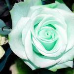 TheONE_Rose