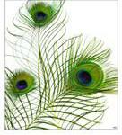 Tcherek kamstra peacock feather trio
